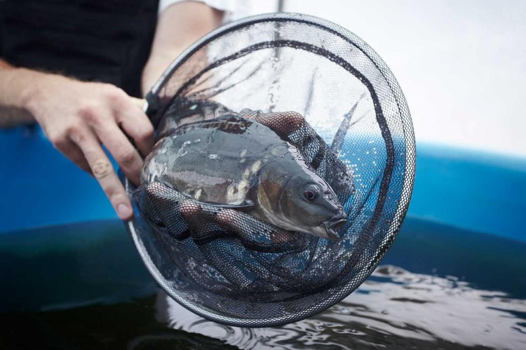 Karpfen in der Aquaponik 2014 (c) ROOF WATER-FARM, Foto: Marc Brinkmeier