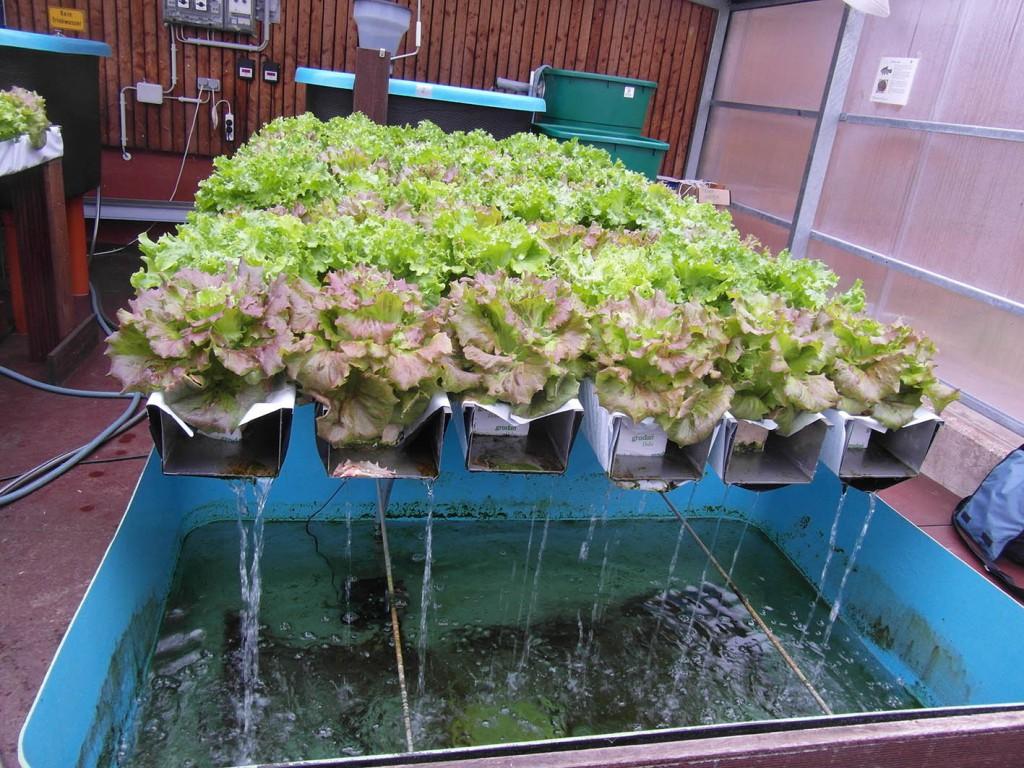 Teststrecke Aquaponik mit Betriebswasser (aus aufbereitetem Grauwasser). (c) ROOF WATER-FARM, Foto: Janine Dinske