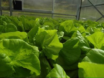 Erntereifer Kopfsalat im RWF-Gewächshaus im Testmodul ,,Hydroponik