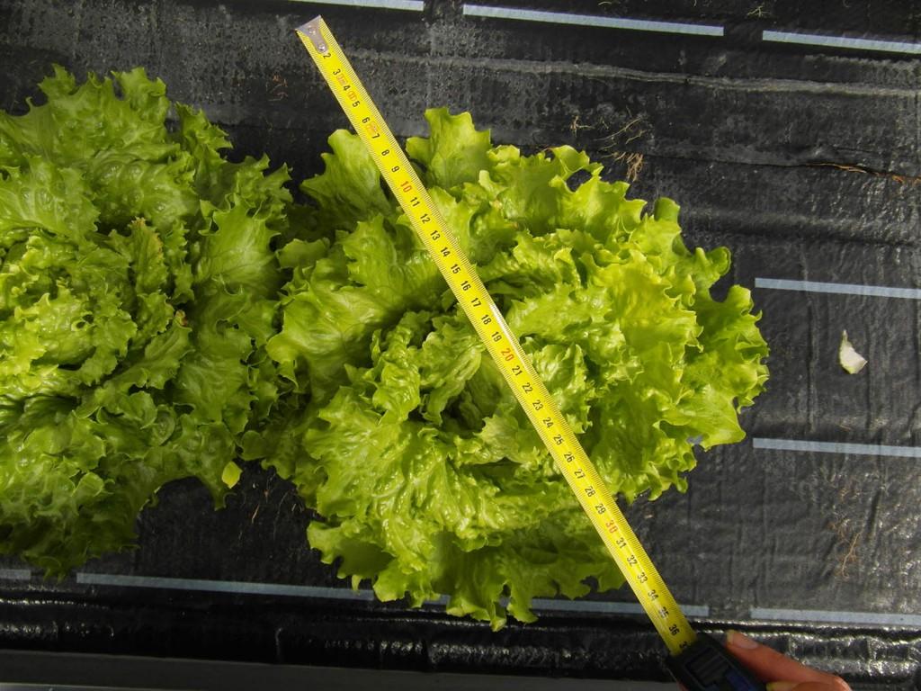 Wachstumsergebnisse des Batavia-Salats der beiden Hydroponik-Teststrecken im Vergleich (links: konventioneller Flüssigdünger, rechts: NPK-Flüssigdünger (,,Goldwasser