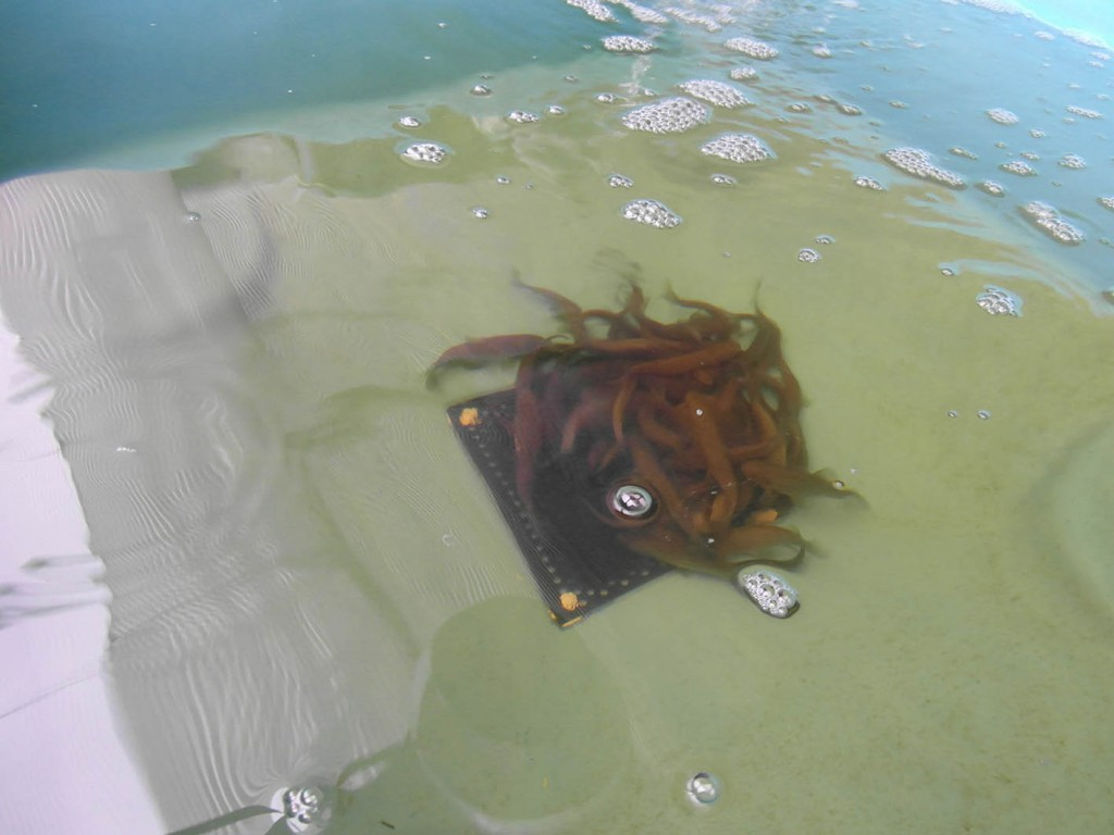 Besatz mit Schlei in der Aquaponik-Teststrecke 1. Foto: Janine Dinske