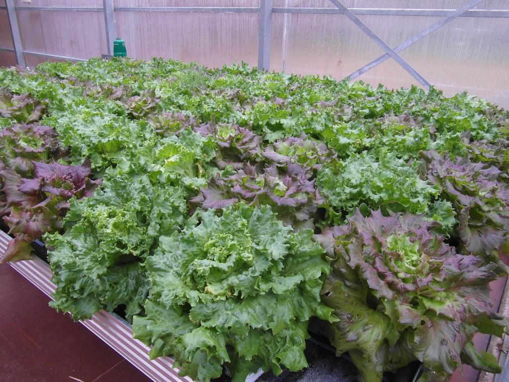 Ernte des Batavia-Salats der Hydroponik-Teststrecke (c) RWF